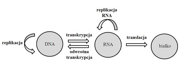 transkrypcja proces anaboliczny