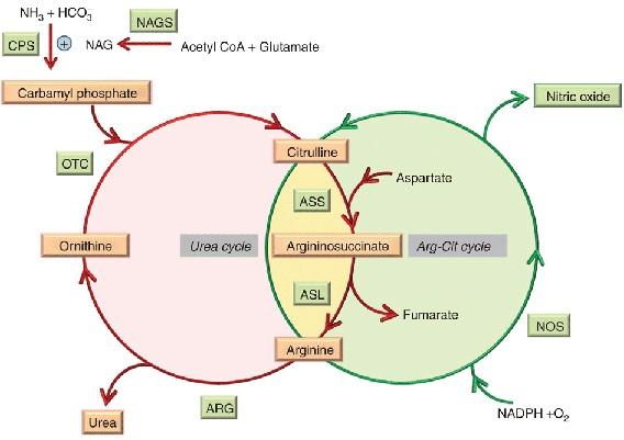 czy cykl mocznikowy jest anaboliczny
